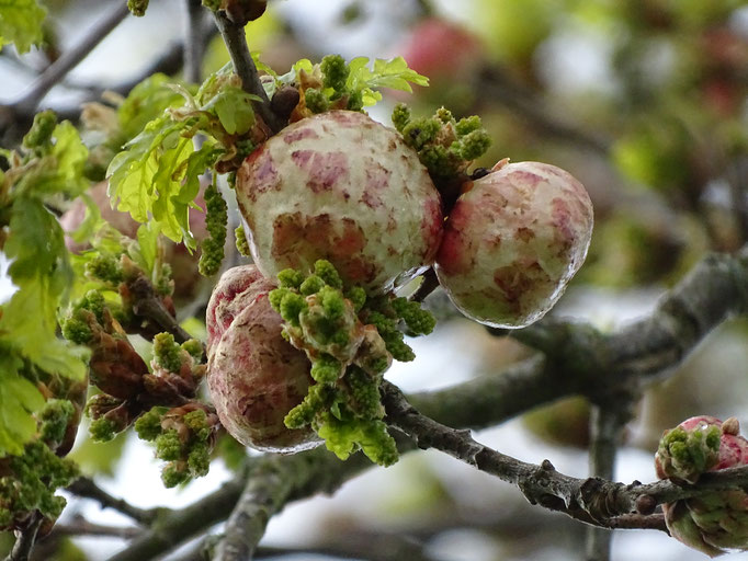 Oak Galls (photo by Steve Self) April 2016
