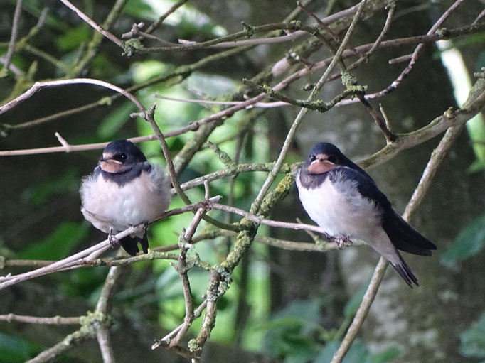Fledgling Swallows (photo by Steve Self)