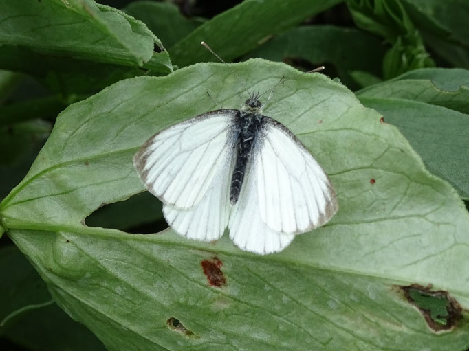 White Green Veined Butterfly (photo by Steve Self) June 2016