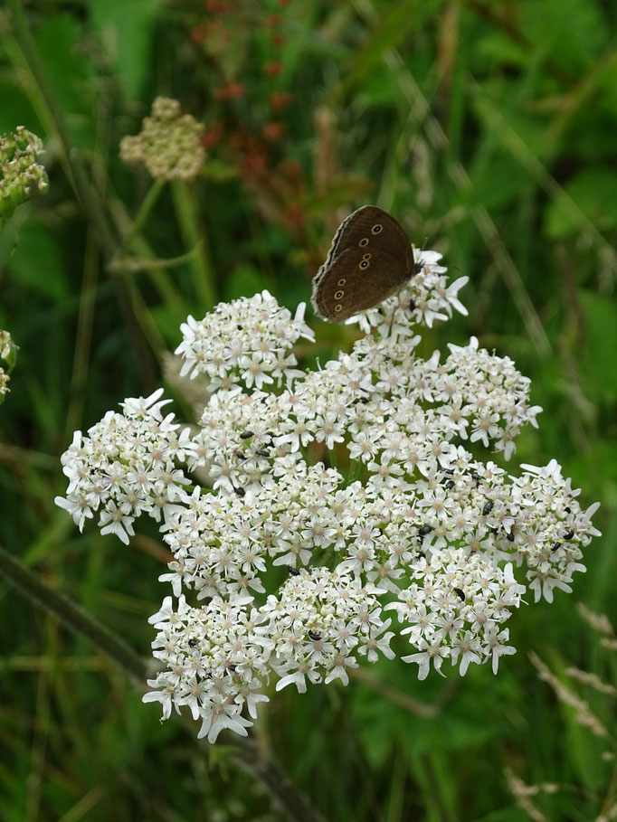 Meadow Brown Butterfly on Cow Parsley (photo by Steve Self)