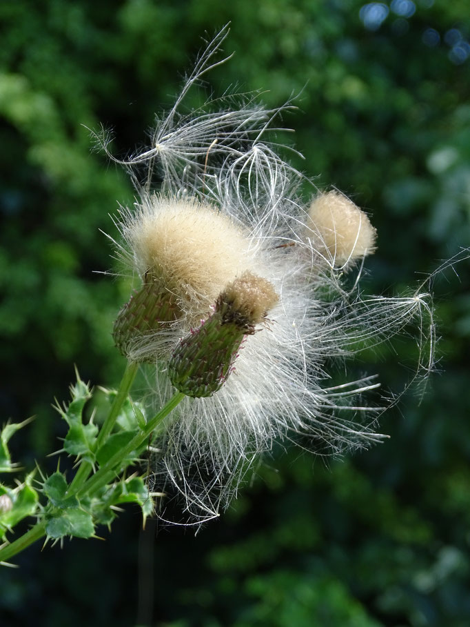 Thistle (photo by Steve Self)