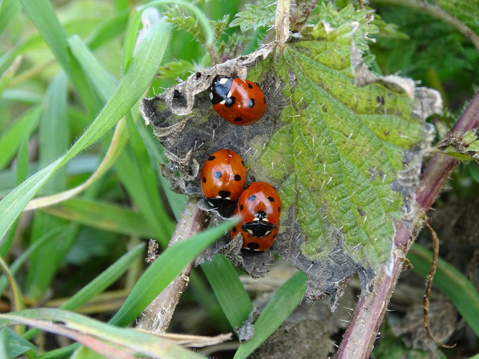 Ladybirds (photo by Steve Self)
