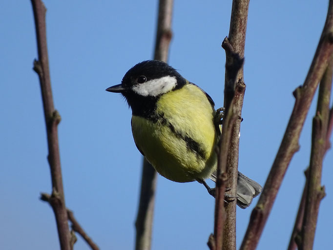 Great Tit (photo by Steve Self)