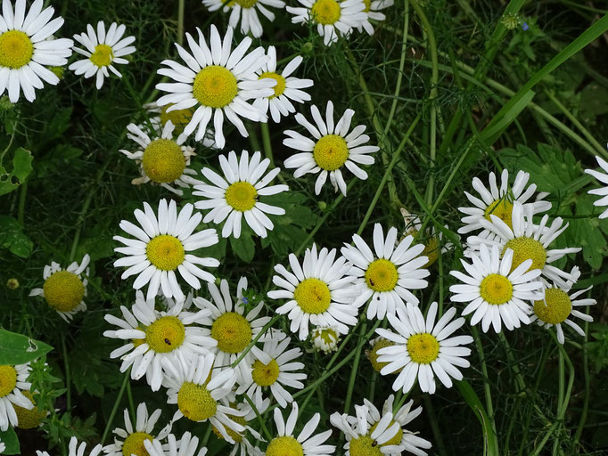 Scentless Mayweed (photo by Steve Self)