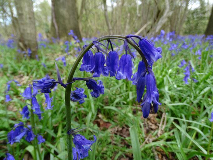 Bluebell (photo by Steve Self)