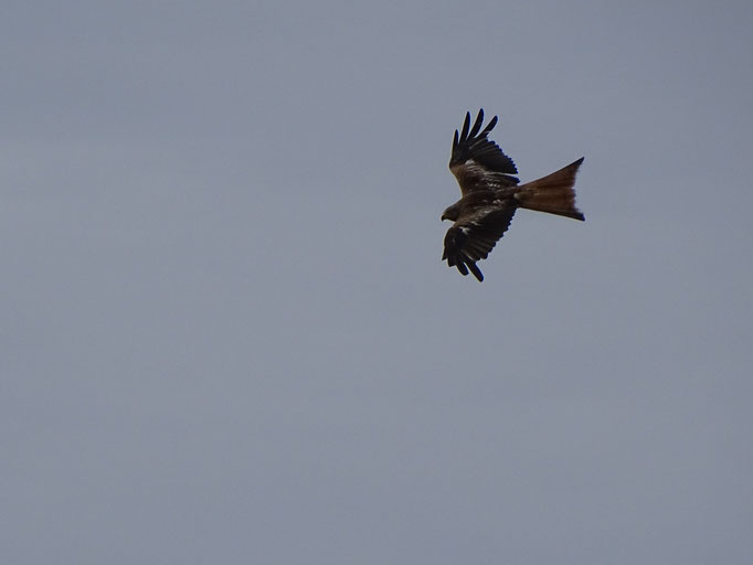 Red Kite (photo by Steve Self)
