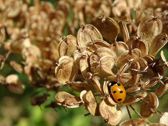Ladybird on Hogweed seed head (photo by Steve Self) August 2016