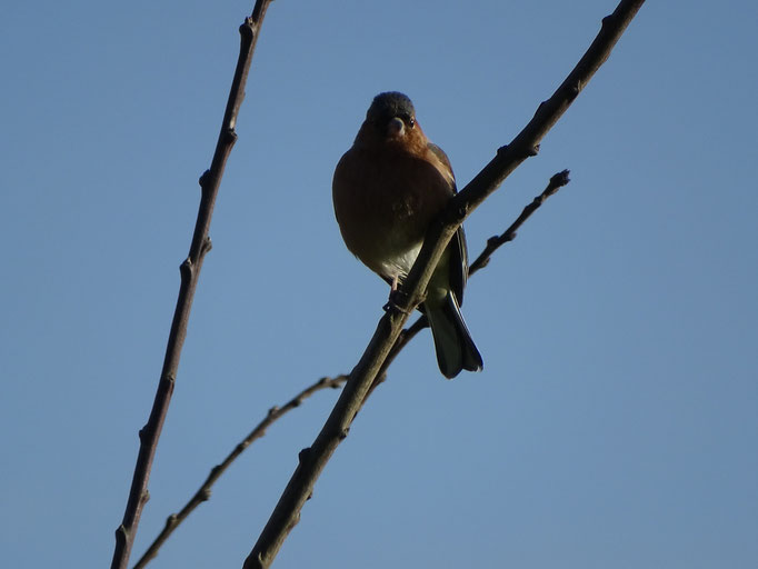 Chaffinch (photo by Steve Self) Jan 2016