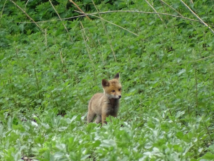Fox cub (photo by Steve Self)