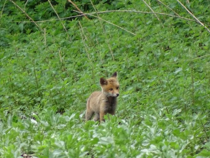 Fox cub (photo by Steve Self)