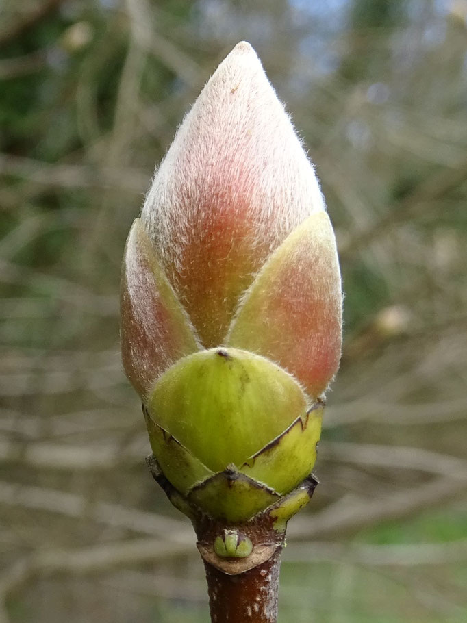 Ash Bud (photo by Steve Self)