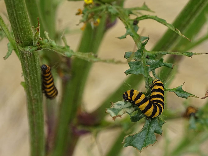 Cinnabar Moth Caterpillar (photo by Steve Self)