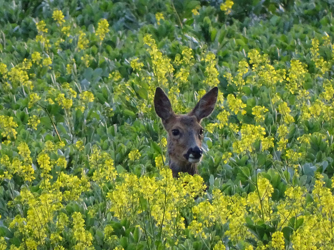 Roe Deer (photo by Steve Self) May 2016