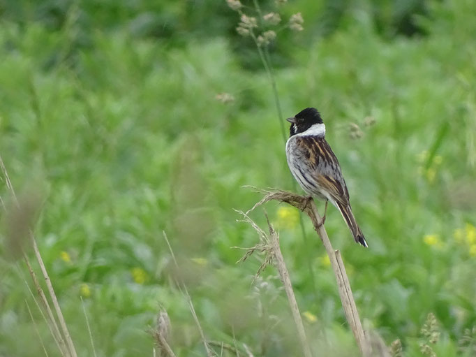 Reed Bunting (photo by Steve Self) June 2016