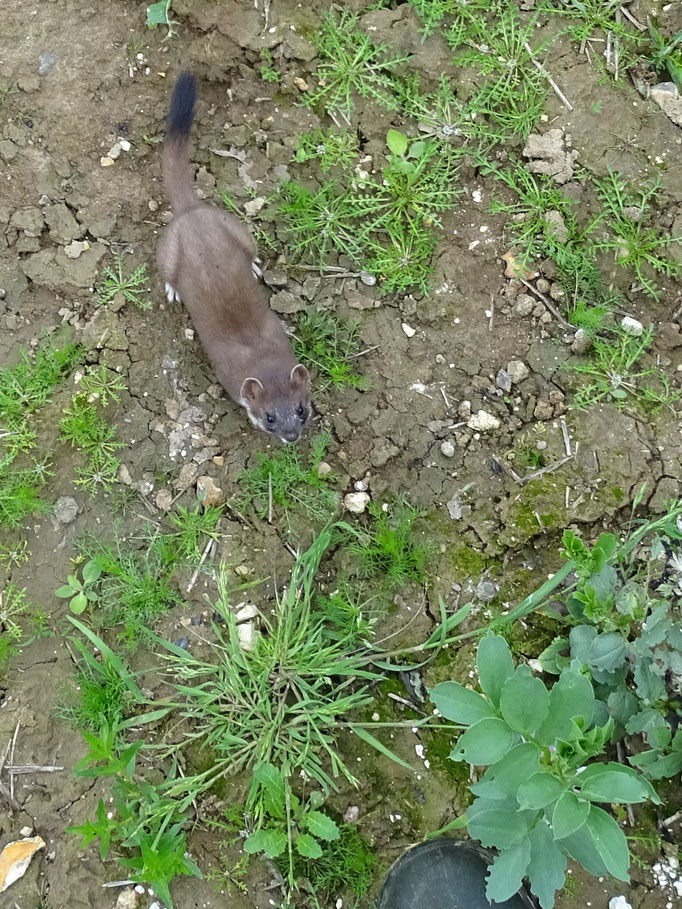 Stoat at my feet (photo by Steve Self)