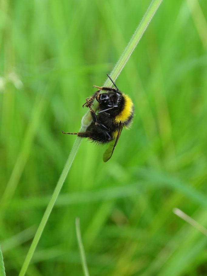 Bumblebee (photo by Steve Self)