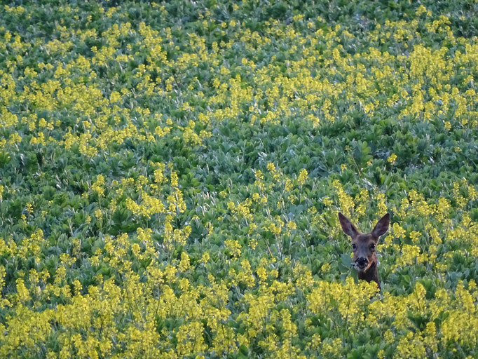 Roe Deer in the beans (photo by Steve Self)