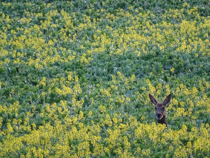Roe Deer in the beans (photo by Steve Self)
