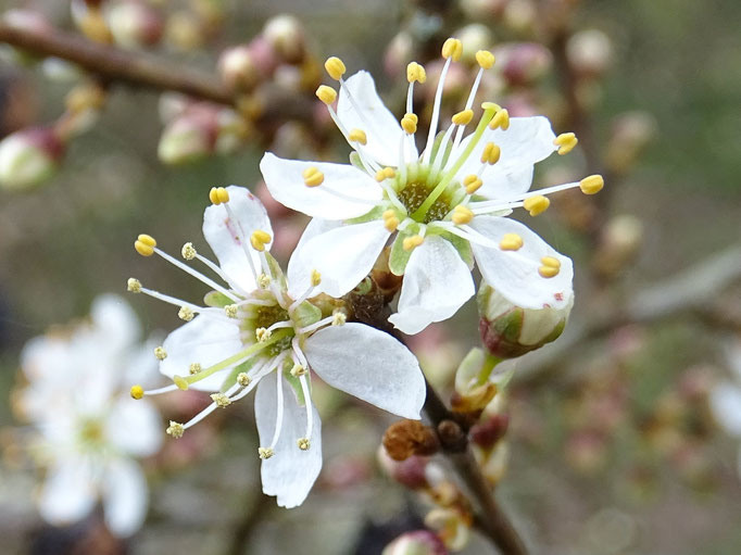 Blackthorn flowers (photo by Steve Self) Mar 2016