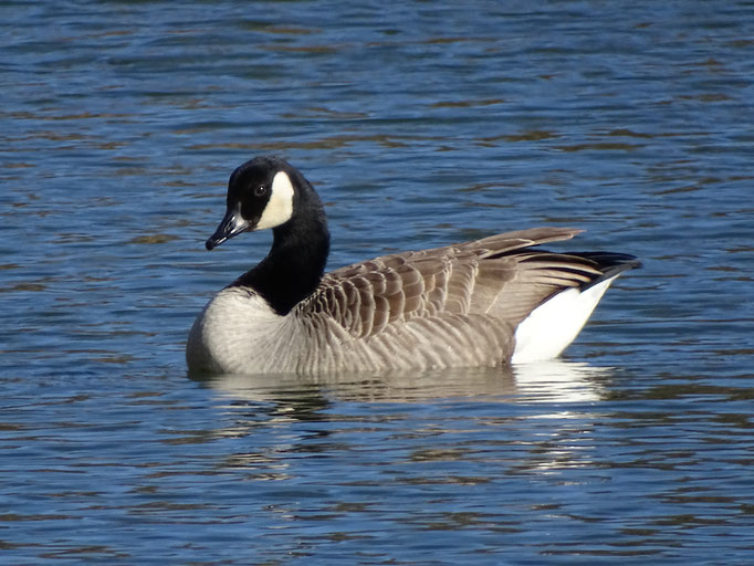 Canada Goose (photo by Steve Self) Feb 2106
