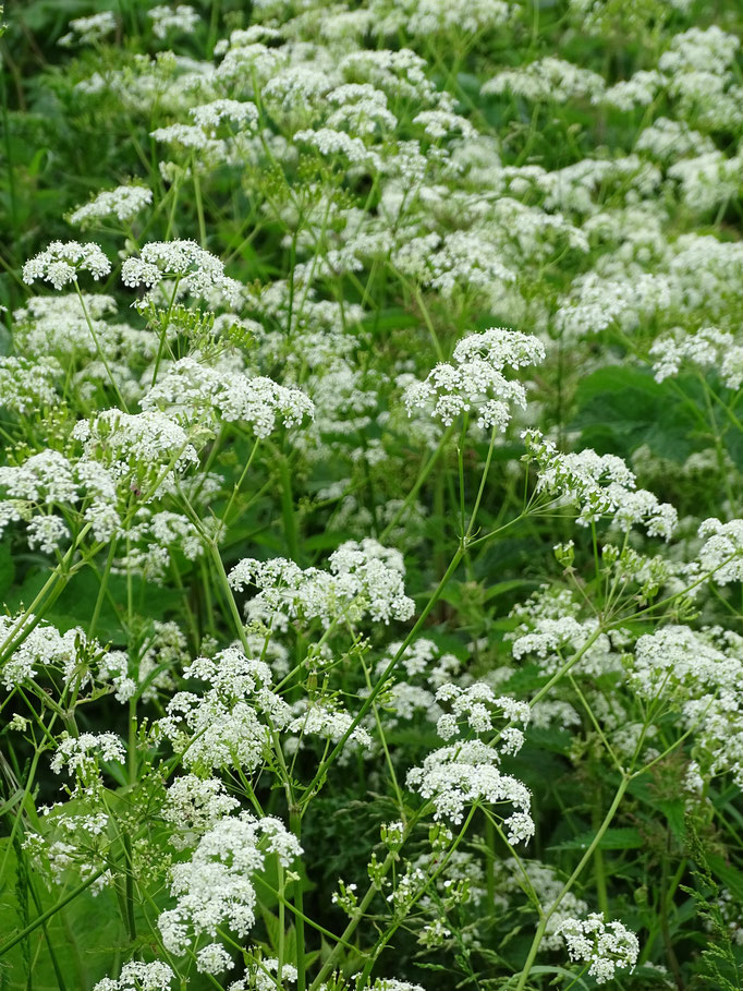 Cow Parsley (photo by Steve Self)