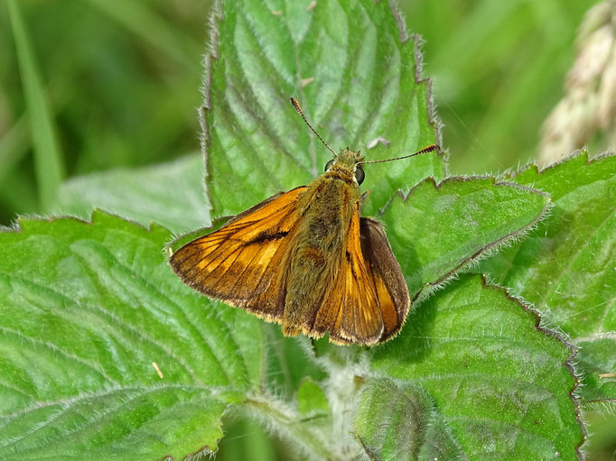 Large Skipper Butterfly (photo by Steve Self) July 2016