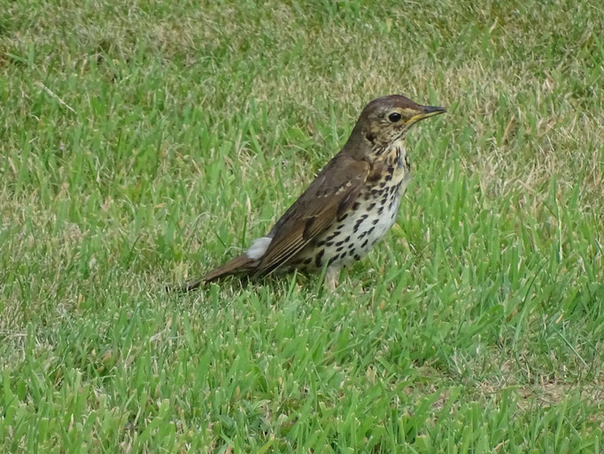 Song Thrush (photo by Steve Self)