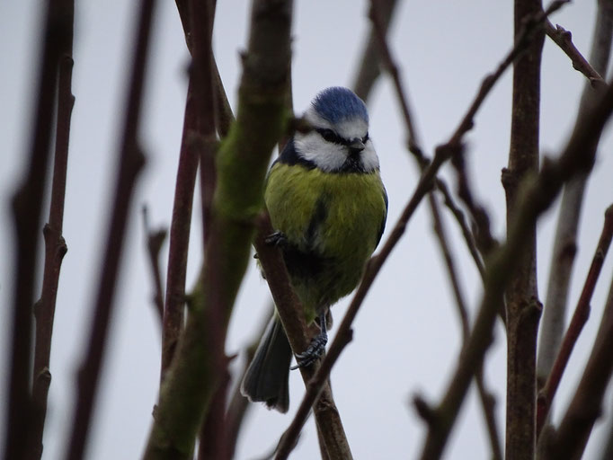 Blue Tit (photo by Steve Self) Jan 2016