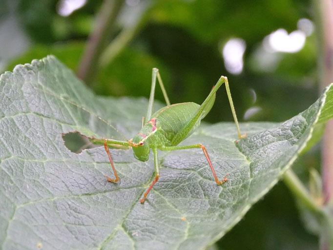 Speckled Bush Cricket (photo by Steve Self)