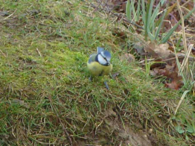 Blue Tit (photo by Steve Self)