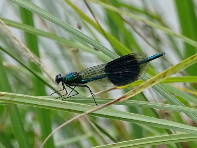 Banded Damoiselle (photo by Steve Self)