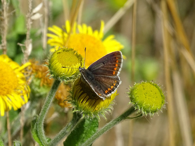 Brown Argus Butterfly (photo by Steve Self) August 2016