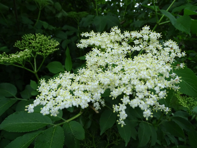 Elderflower (photo by Steve Self) June 2016