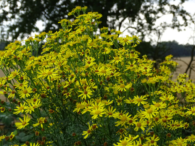 Ragwort (photo by Steve Self)