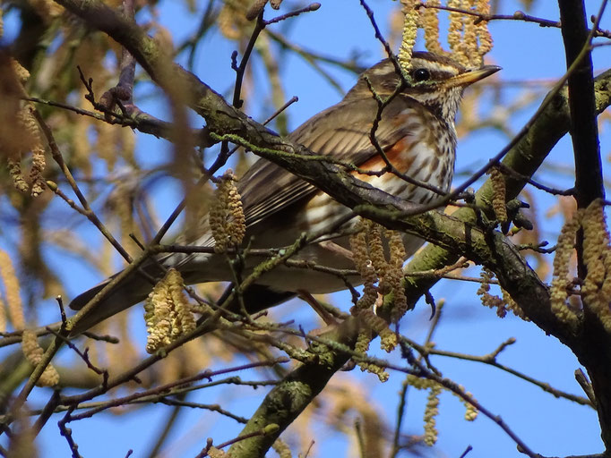 Redwing (photo by Steve Self)