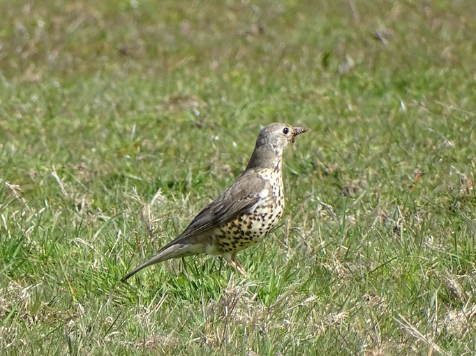 Mistle Thrush (photo by Steve Self)