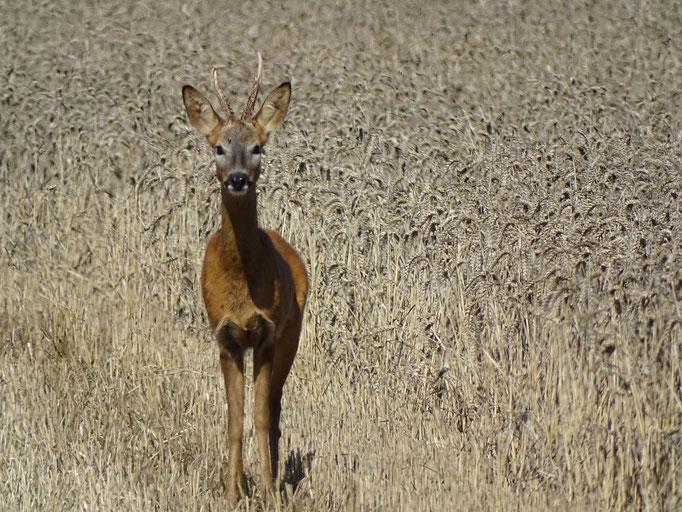 Roe Deer (photo by Steve Self)