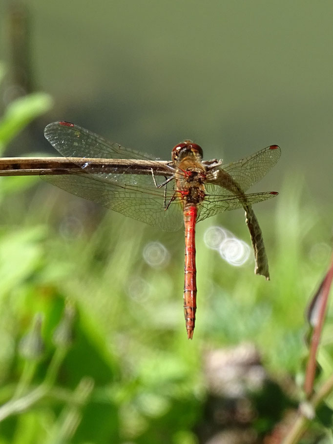 Common Darter (photo by Steve Self) August 2016
