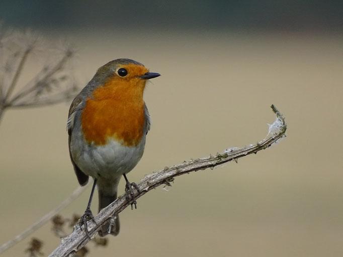 Robin (photo by Steve Self)