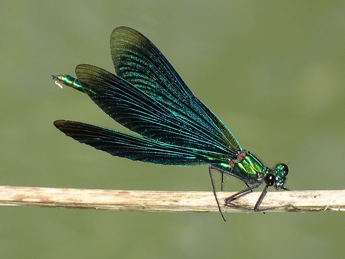 Beautiful Damoiselle (photo by Steve Self) August 2016