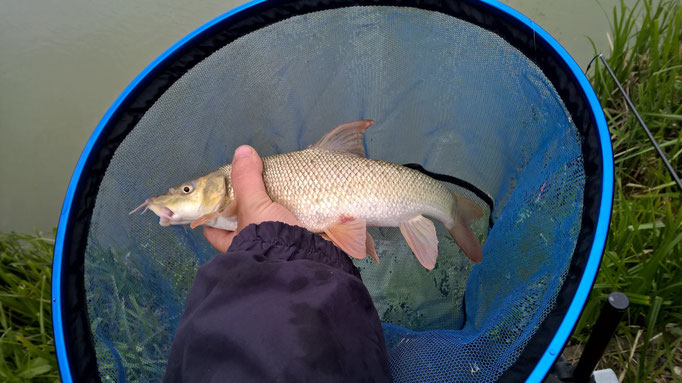 One of the barbel from Gareth Bulbeck's haul of pole caught fish including 2 carp, 2 barbel, 4 tench and 67 skimmers and rudd, all caught on dead maggot or paste. (May 2015)