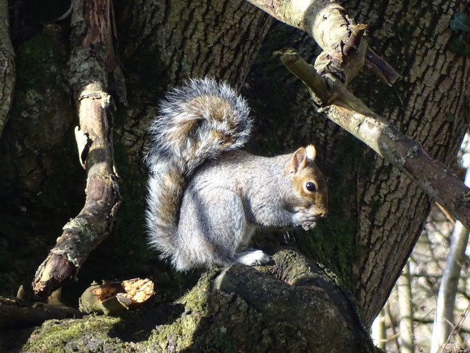 Grey Squirrel (photo by Steve Self)