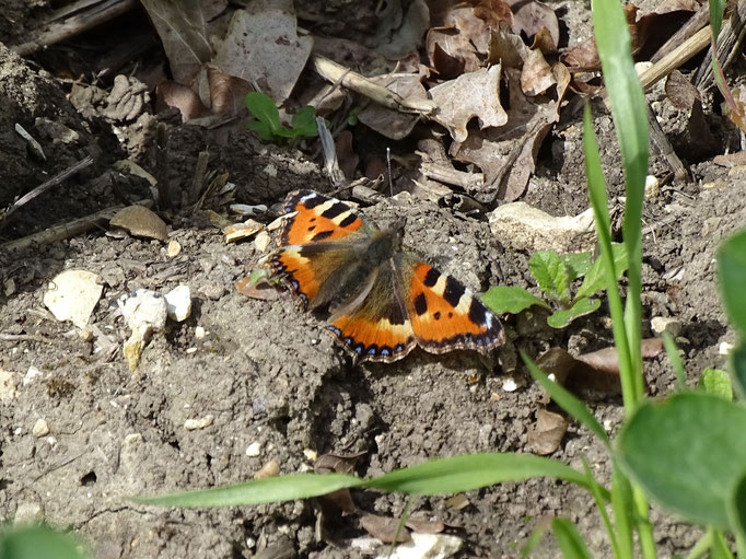 Small Tortoiseshell Butterfly (photo by Steve Self) April 2016