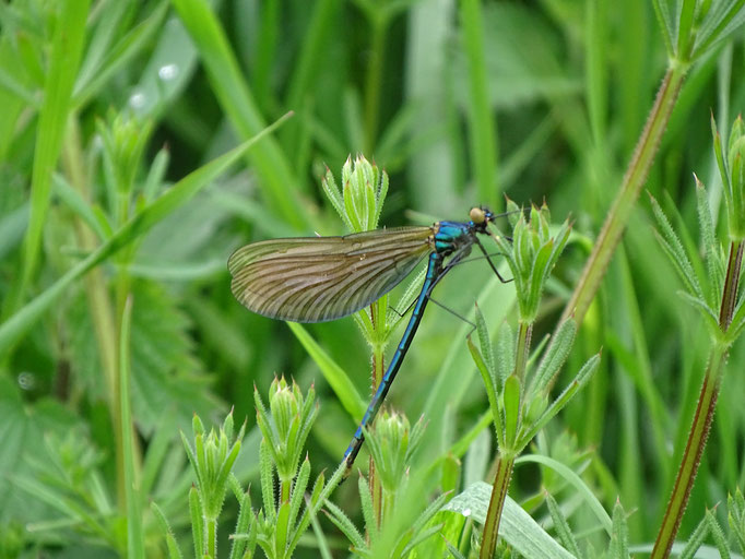 Common Blue Damselfly (photo by Steve Self) May 2016