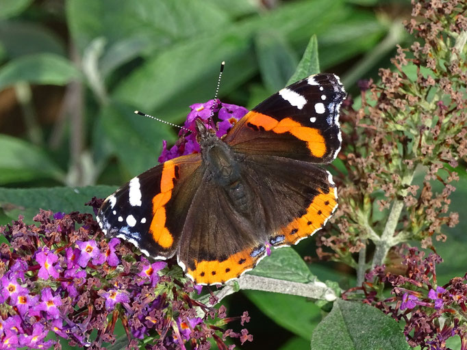 Red Admiral Butterfly (photo by Steve Self)