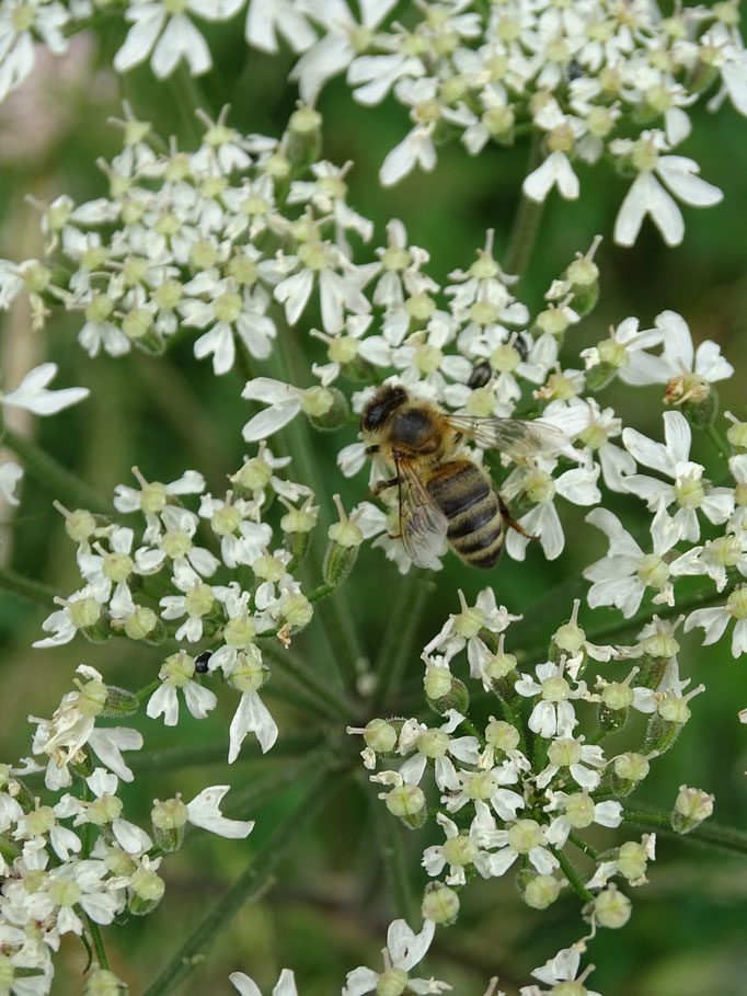 Honey Bee (photo by Steve Self)