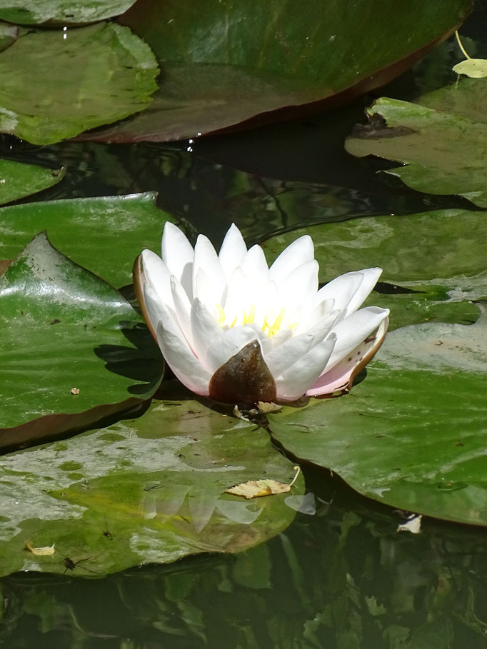Water Lily (photo by Steve Self)