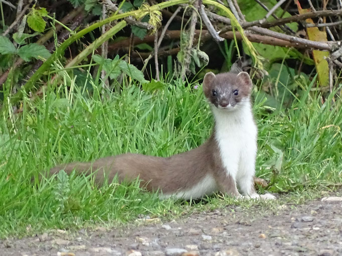 Stoat (photo by Steve Self) June 2016