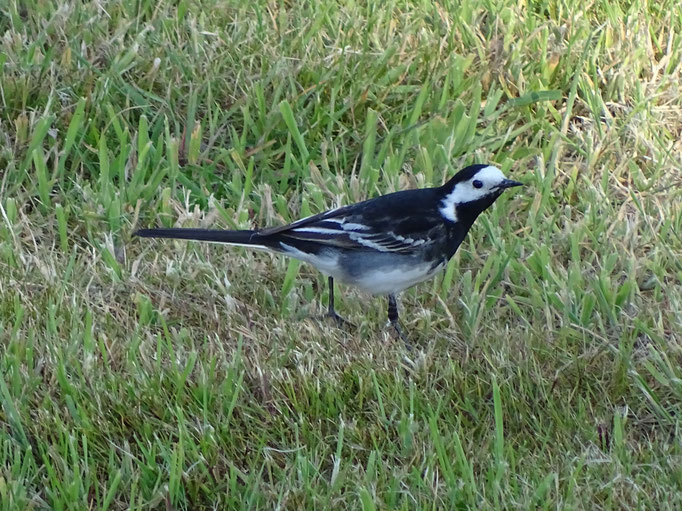 Pied Wagtail (photo by Steve Self)