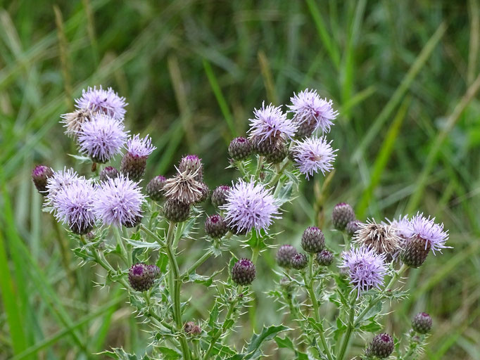 Creeping Thistle (photo by Steve Self)